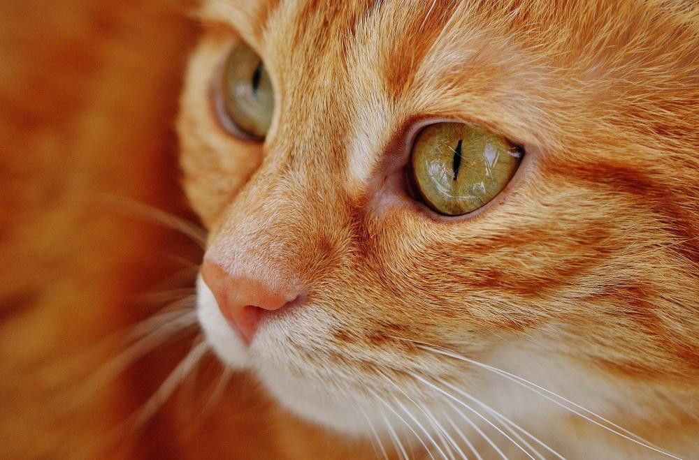 Gato com coronavírus é caso único e isolado registrado na Bélgica