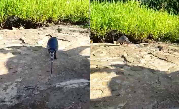 Tatu-galinha é perseguido na rua e quase vira almoço de domingo no Piauí