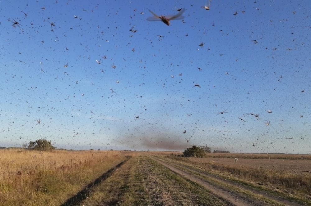 Nuvem de gafanhotos volta a se aproximar do Brasil; avisa governo Argentino