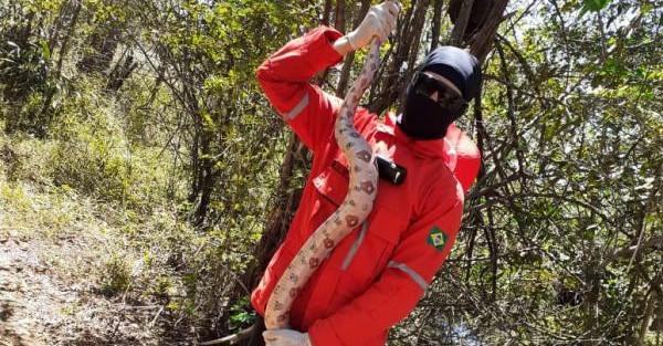 Cobra de quase dois metros é capturada no Norte do Piauí