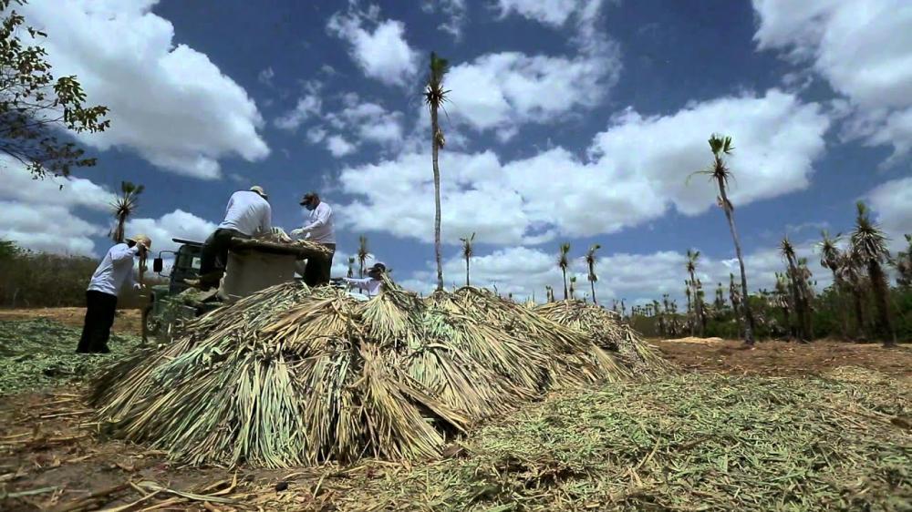 Piauí é o maior produtor de pó de carnaúba no país, diz IBGE