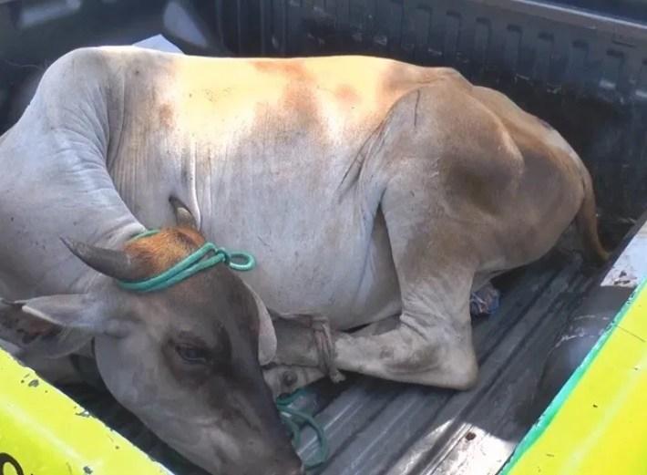 Homem é preso transportando vaca dentro de um carro de passeio no Piauí