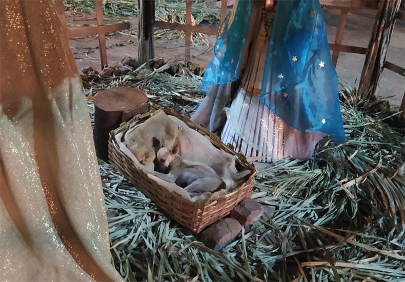 Cão emociona ao dormir em manjedoura e campanha de doação é aberta