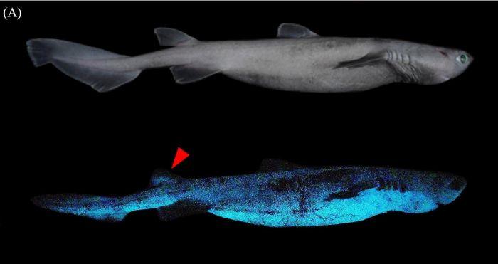 Esses tubarões podem medir até 2 metros de comprimento - (Foto: Divulgação/Frontiers in Marine)