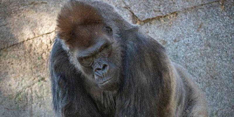 Oito macacos do zoológico foram infectados - (Foto: San Diego Zoo Wildlife Alliance)