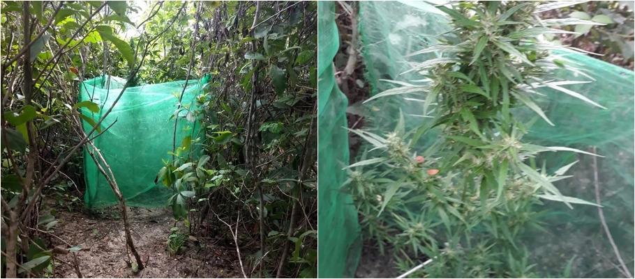 Populares denunciam e PM apreende plantação de maconha no Norte do Piauí
