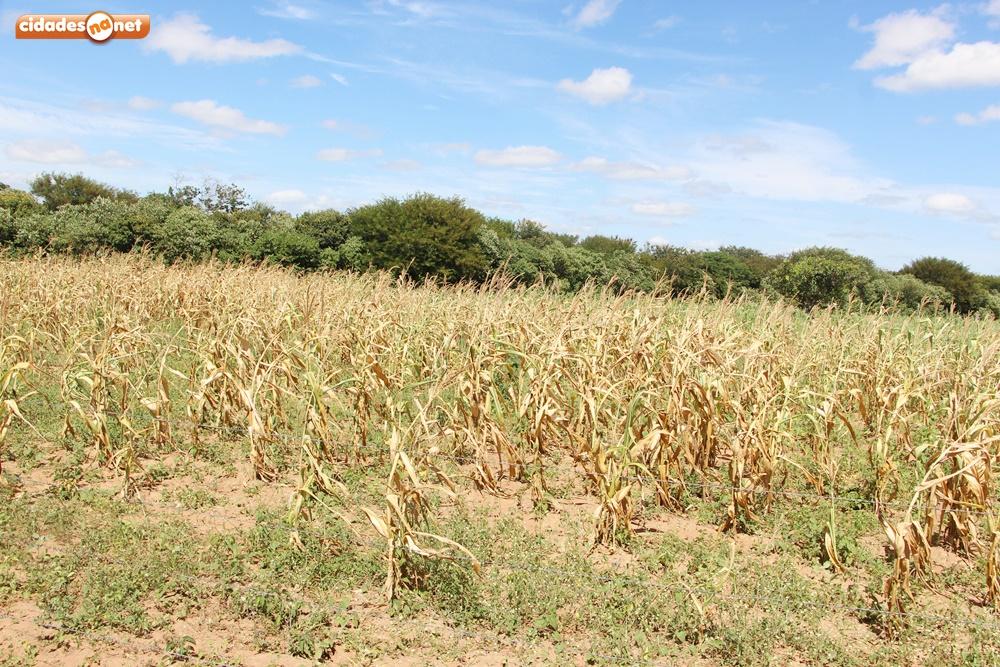 Com chuvas irregulares, agricultores já registram perda de 60% da lavoura - Fotos: Portal Cidades na Net