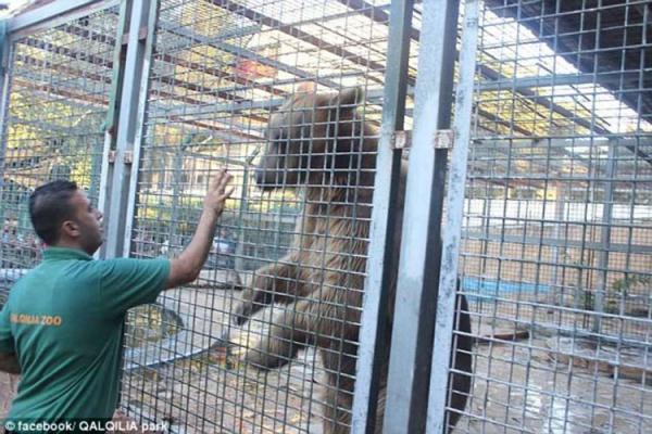 Urso come mão de menino em zoológico na Cisjordânia