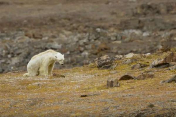 Imagens de urso polar estão emocionando o mundo
