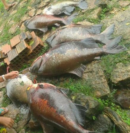 Prejuízo: Peixes escapam de tanque na Barragem do Bezerro
