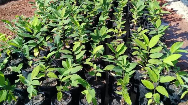 Secretaria de Agricultura de Barras está produzindo 20mil mudas de caju até 2019