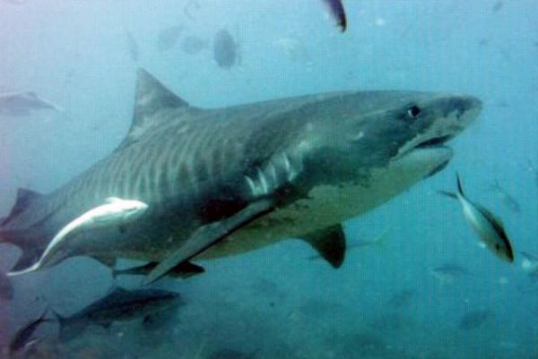 Brasileiro morre ao ser atacado por tubarão nos Estados Unidos