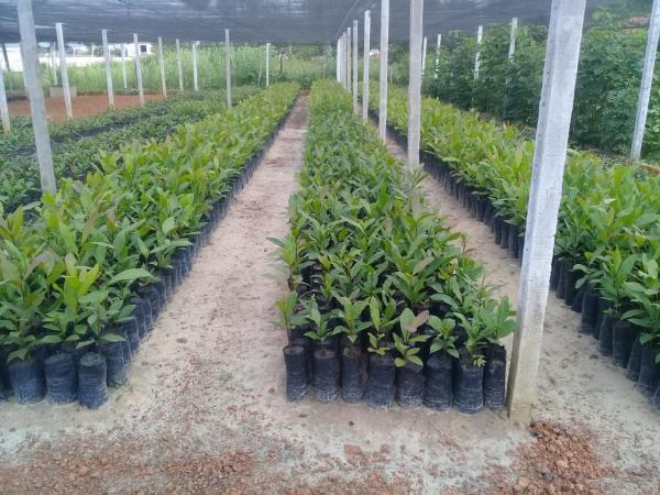 Prefeitura de Barras vai distribuir mudas frutíferas neste sábado (12)