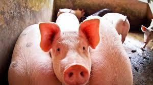 Cabeceiras do PI registra foco de peste suína clássica